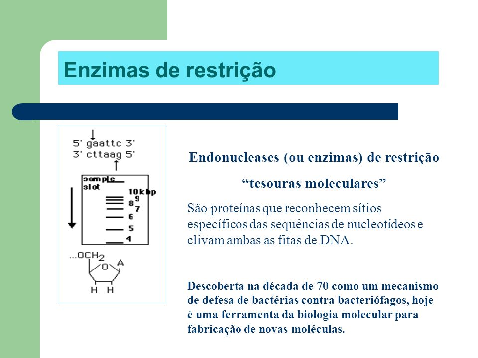 Enzimas de restrição Endonucleases (ou enzimas) de restrição tesouras moleculares São proteínas que reconhecem sítios específicos das sequências de nu