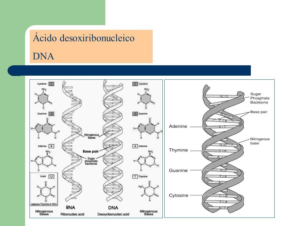 Deoxyribonucleic Acid Ácido desoxiribonucleico DNA