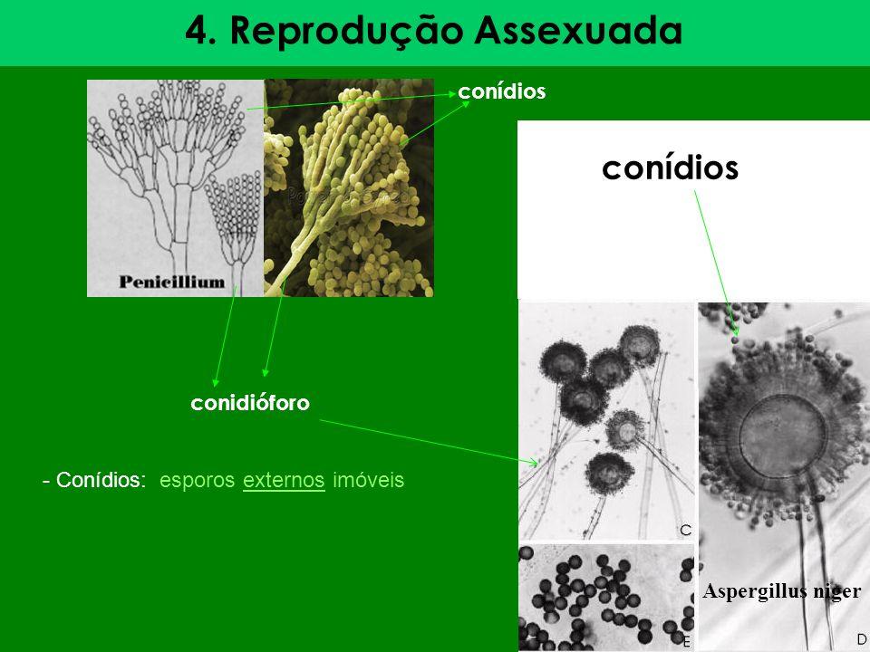 4. Reprodução Assexuada conídios conidióforo Aspergillus niger conídios - Conídios: esporos externos imóveis