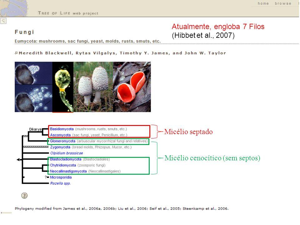 Atualmente, engloba 7 Filos (Hibbet et al., 2007) Micélio cenocítico (sem septos) Micélio septado