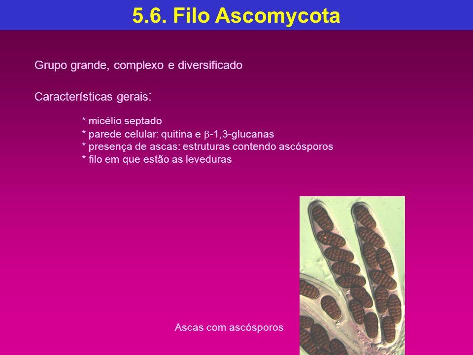 5.6. Filo Ascomycota Grupo grande, complexo e diversificado Características gerais : * micélio septado * parede celular: quitina e -1,3-glucanas * pre