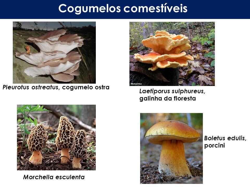 Pleurotus ostreatus, cogumelo ostra Laetiporus sulphureus, galinha da floresta Cogumelos comestíveis Morchella esculenta Boletus edulis, porcini