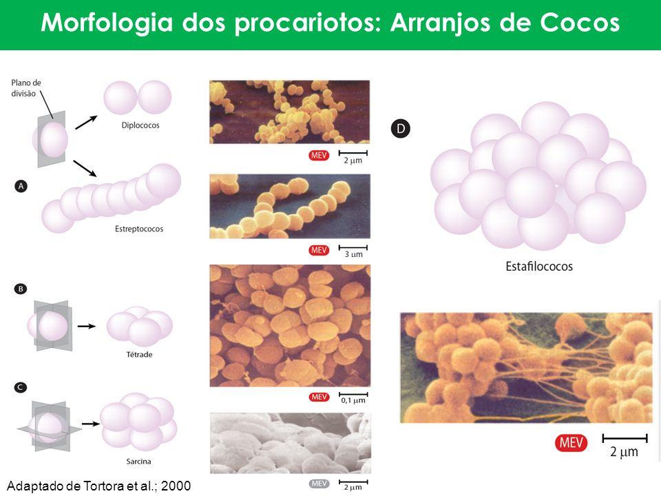 Morfologia dos procariotos: Arranjos de Cocos Adaptado de Tortora et al.; 2000