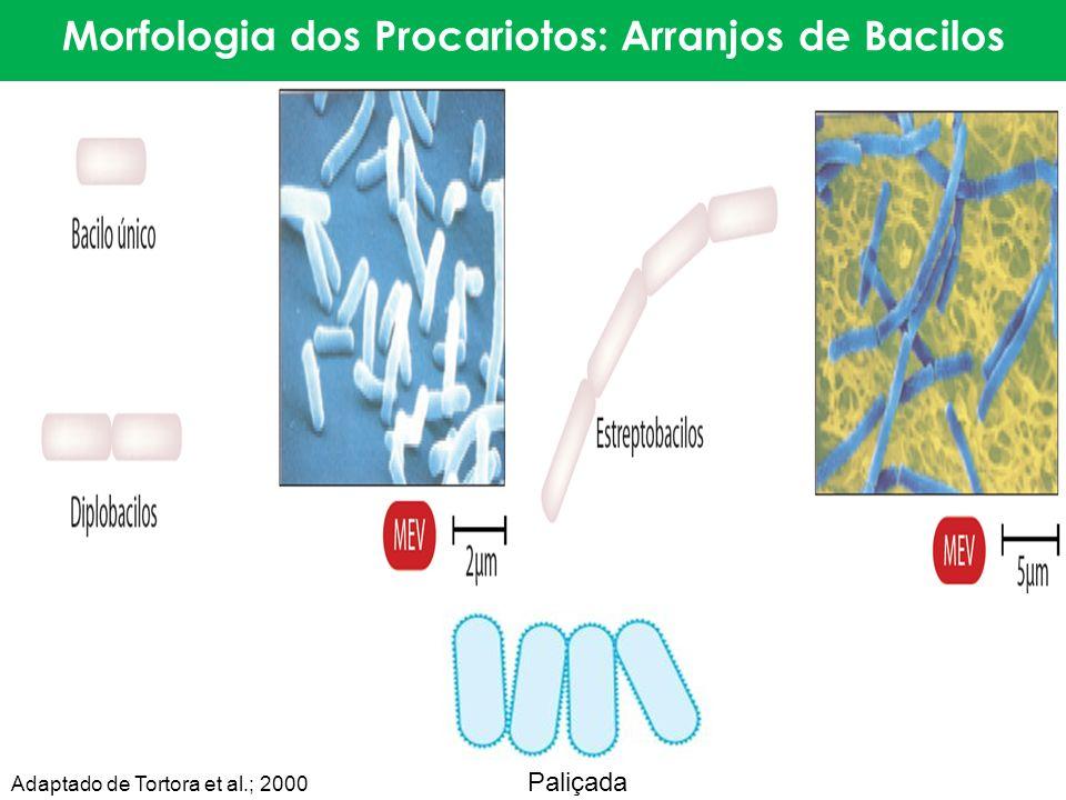 Morfologia dos Procariotos: Arranjos de Bacilos Paliçada Adaptado de Tortora et al.; 2000