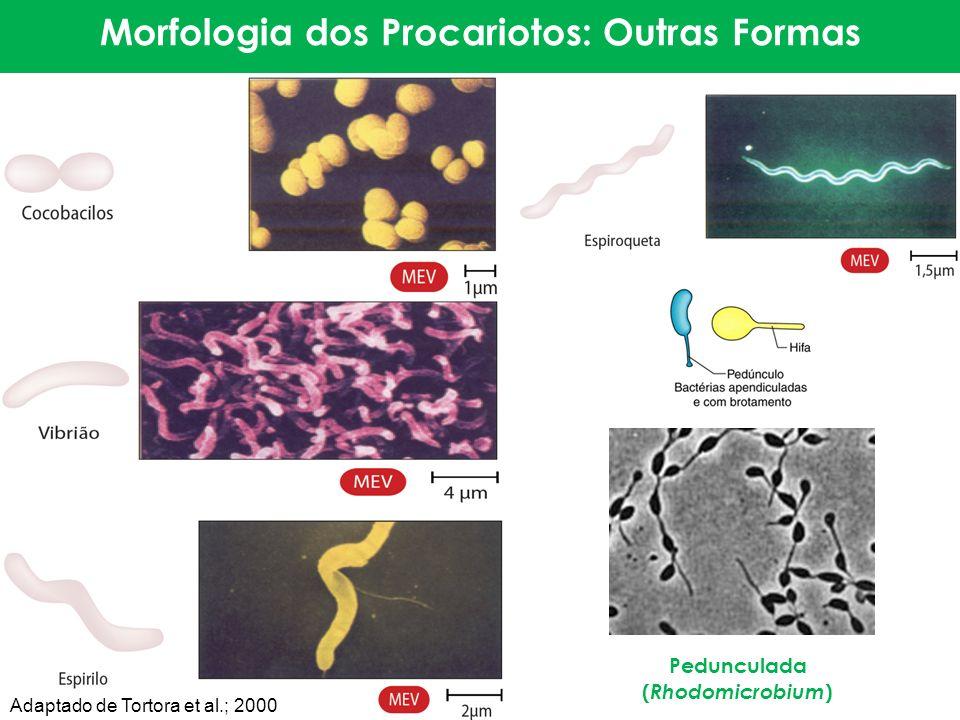 Morfologia dos Procariotos: Outras Formas Pedunculada ( Rhodomicrobium ) Adaptado de Tortora et al.; 2000