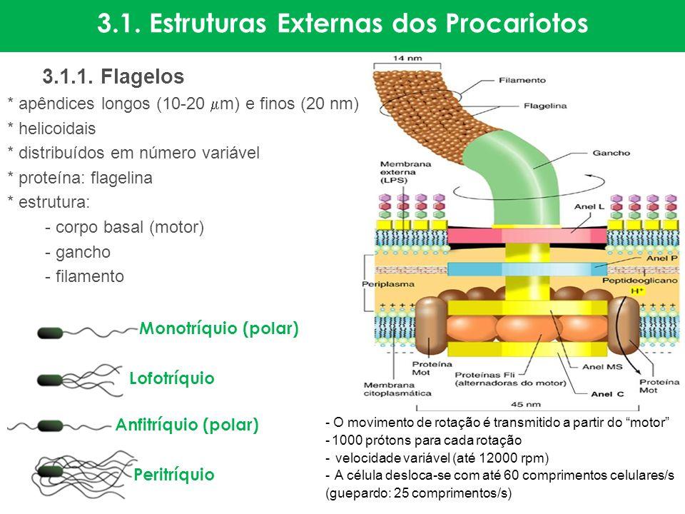 3.1. Estruturas Externas dos Procariotos 3.1.1. Flagelos * apêndices longos (10-20 m) e finos (20 nm) * helicoidais * distribuídos em número variável