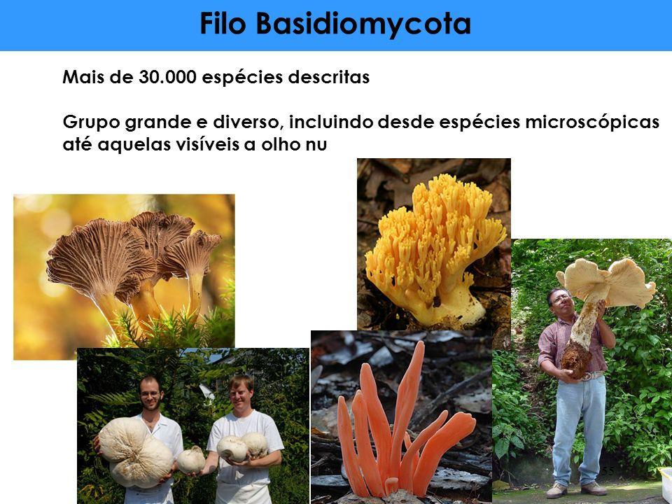 Mais de 30.000 espécies descritas Grupo grande e diverso, incluindo desde espécies microscópicas até aquelas visíveis a olho nu 55 Filo Basidiomycota