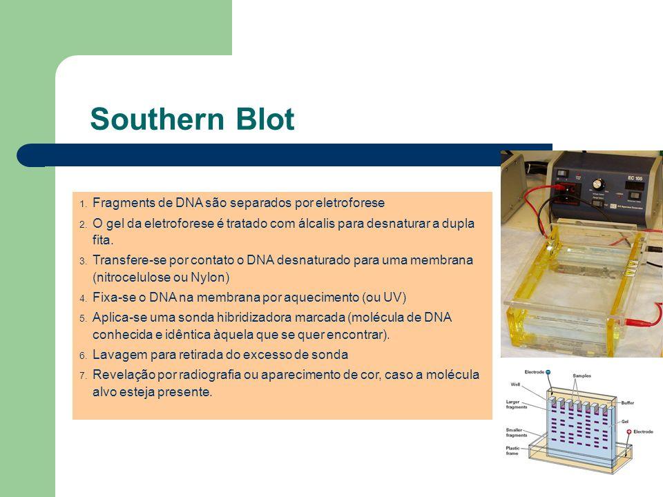 Southern Blot 1. Fragments de DNA são separados por eletroforese 2. O gel da eletroforese é tratado com álcalis para desnaturar a dupla fita. 3. Trans