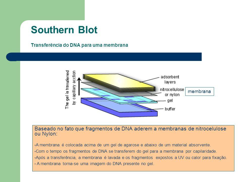 Southern Blot Transferência do DNA para uma membrana Baseado no fato que fragmentos de DNA aderem a membranas de nitrocelulose ou Nylon: A membrana é