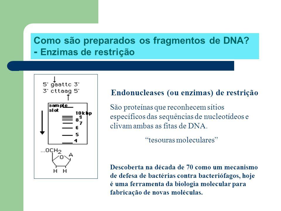 Como são preparados os fragmentos de DNA? - Enzimas de restrição Endonucleases (ou enzimas) de restrição São proteínas que reconhecem sítios específic
