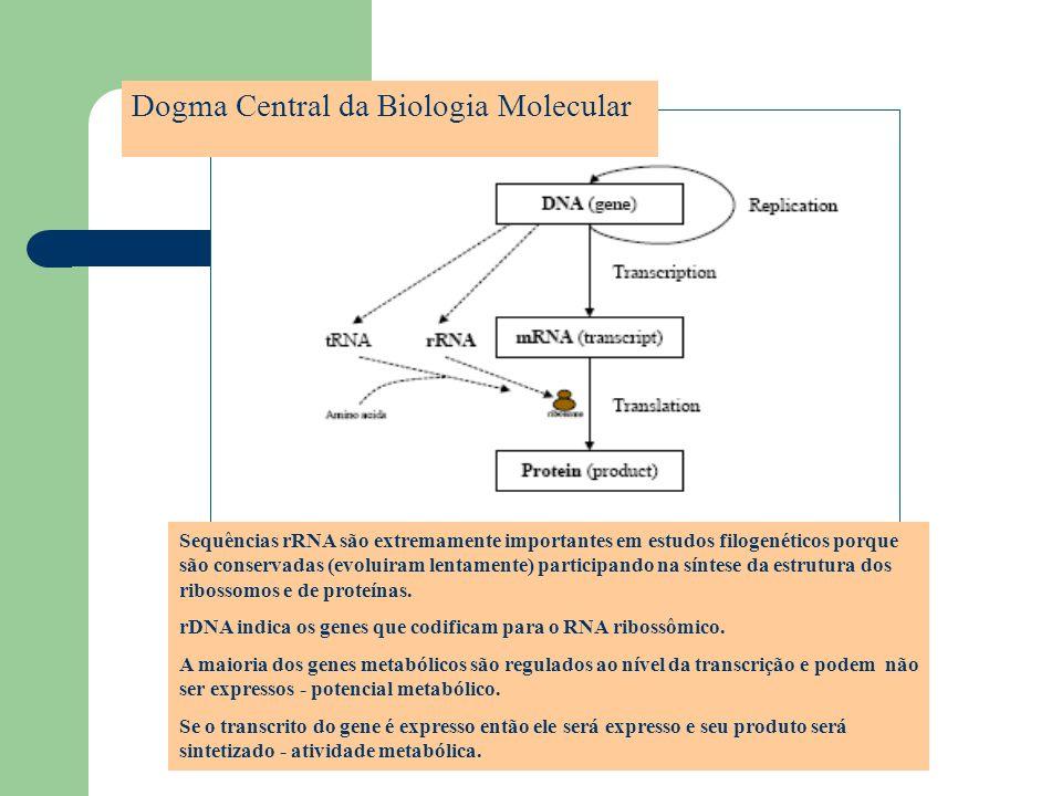 Dogma Central da Biologia Molecular Sequências rRNA são extremamente importantes em estudos filogenéticos porque são conservadas (evoluiram lentamente