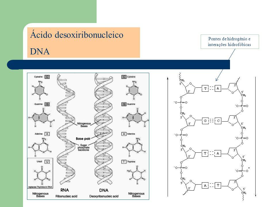 Deoxyribonucleic Acid Ácido desoxiribonucleico DNA Pontes de hidrogênio e interações hidrofóbicas