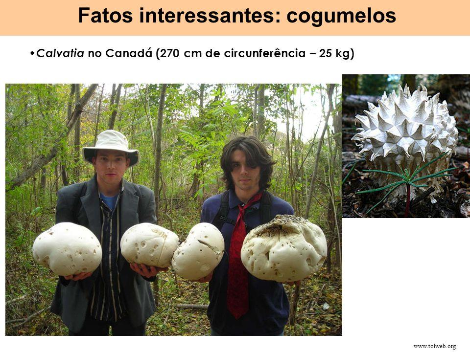 Calvatia no Canadá (270 cm de circunferência – 25 kg) Fatos interessantes: cogumelos http://upload.wikimedia.org/wikipedia/commons/0/0b/Armillaria_ost