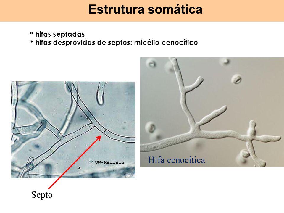 * hifas septadas * hifas desprovidas de septos: micélio cenocítico Hifa cenocítica Septo Estrutura somática