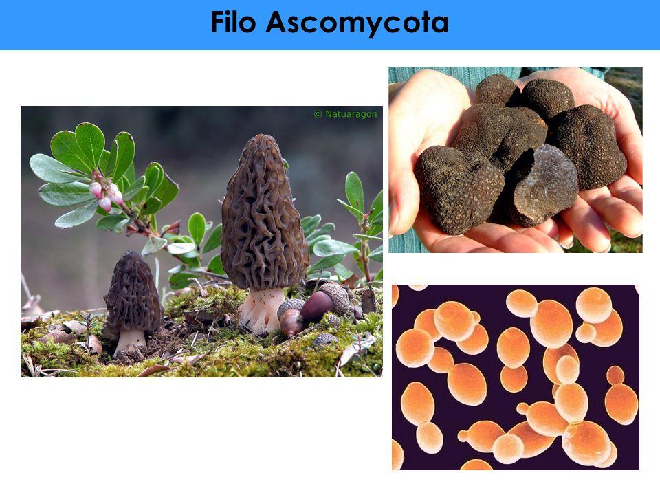Filo Ascomycota 48