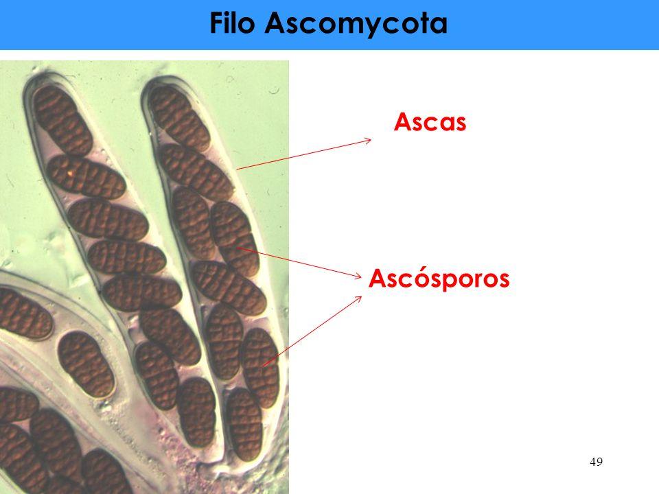 Filo Ascomycota 49 Ascas Ascósporos