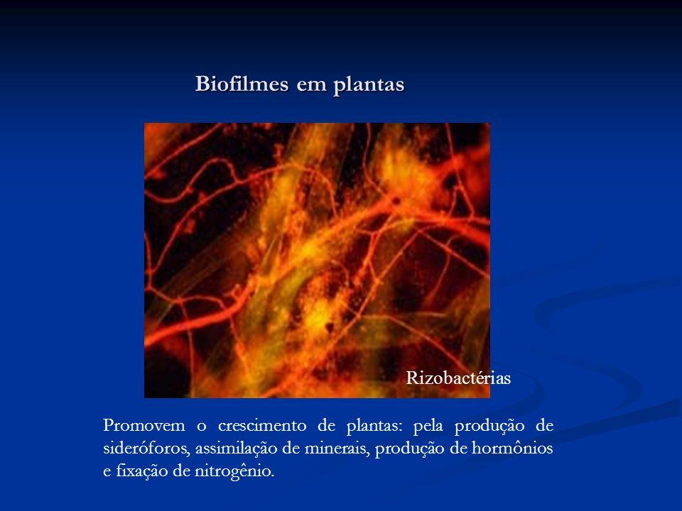 Biofilmes em plantas Rizobactérias Promovem o crescimento de plantas: pela produção de sideróforos, assimilação de minerais, produção de hormônios e f
