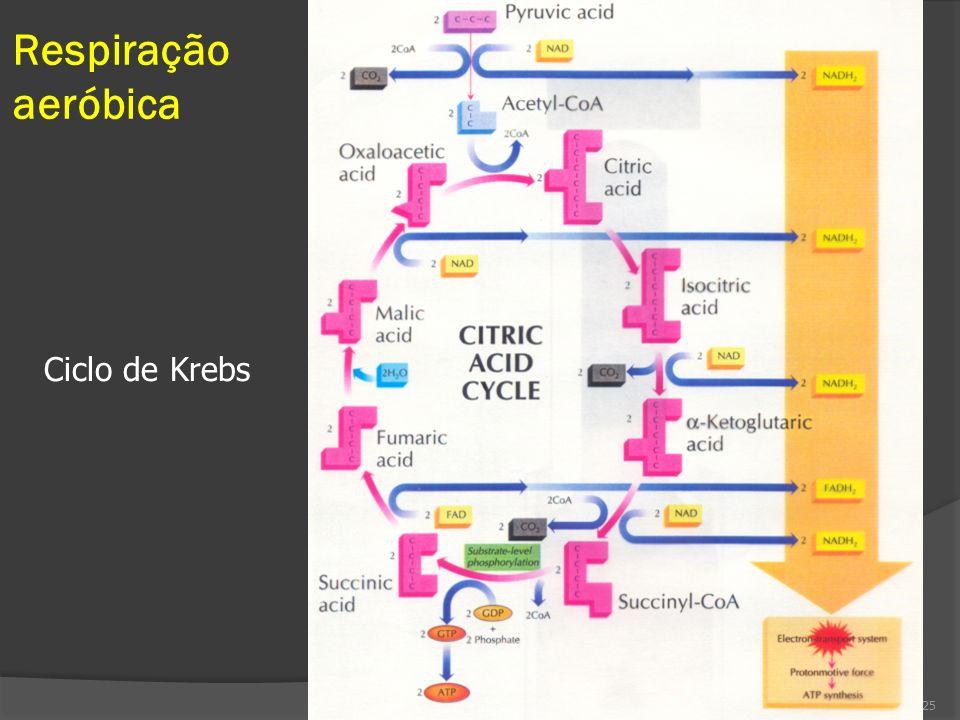 Respiração aeróbica 25 Ciclo de Krebs