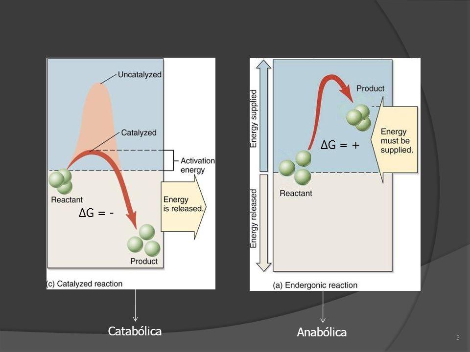G = + G = - 3 Anabólica Catabólica