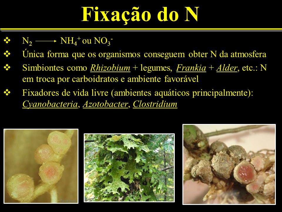 Fixação do N N 2 NH 4 + ou NO 3 - Única forma que os organismos conseguem obter N da atmosfera Simbiontes como Rhizobium + legumes, Frankia + Alder, e