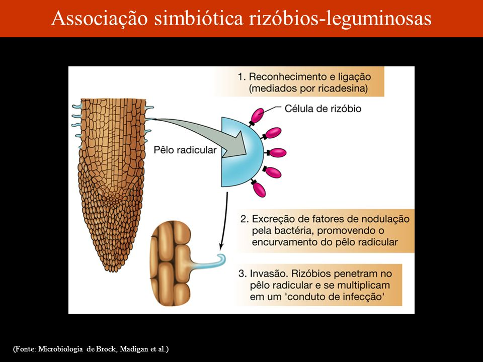 Associação simbiótica rizóbios-leguminosas (Fonte: Microbiologia de Brock, Madigan et al.)