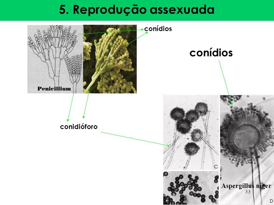 5. Reprodução assexuada conídios conidióforo Aspergillus niger conídios 33