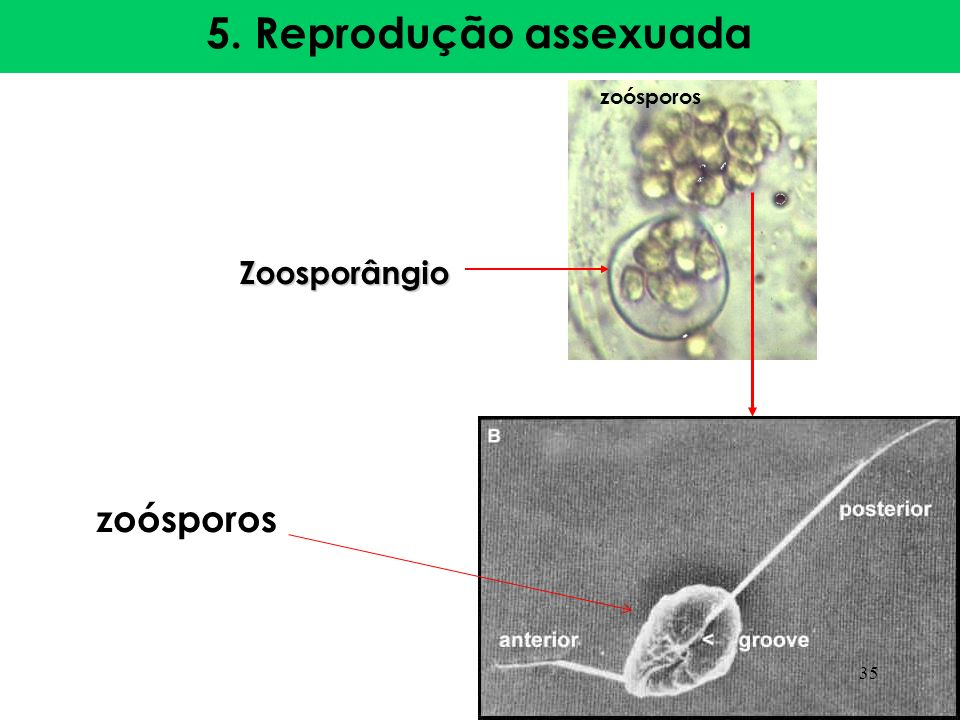 5. Reprodução assexuada zoósporos Zoosporângio 35