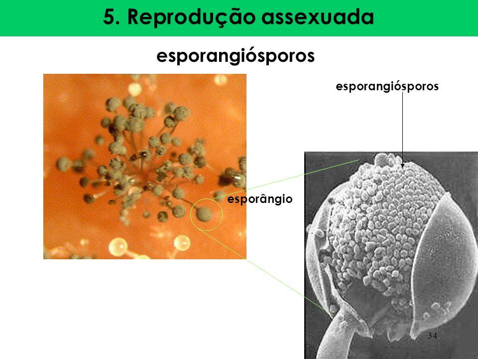 5. Reprodução assexuada esporangiósporos esporângio esporangiósporos 34