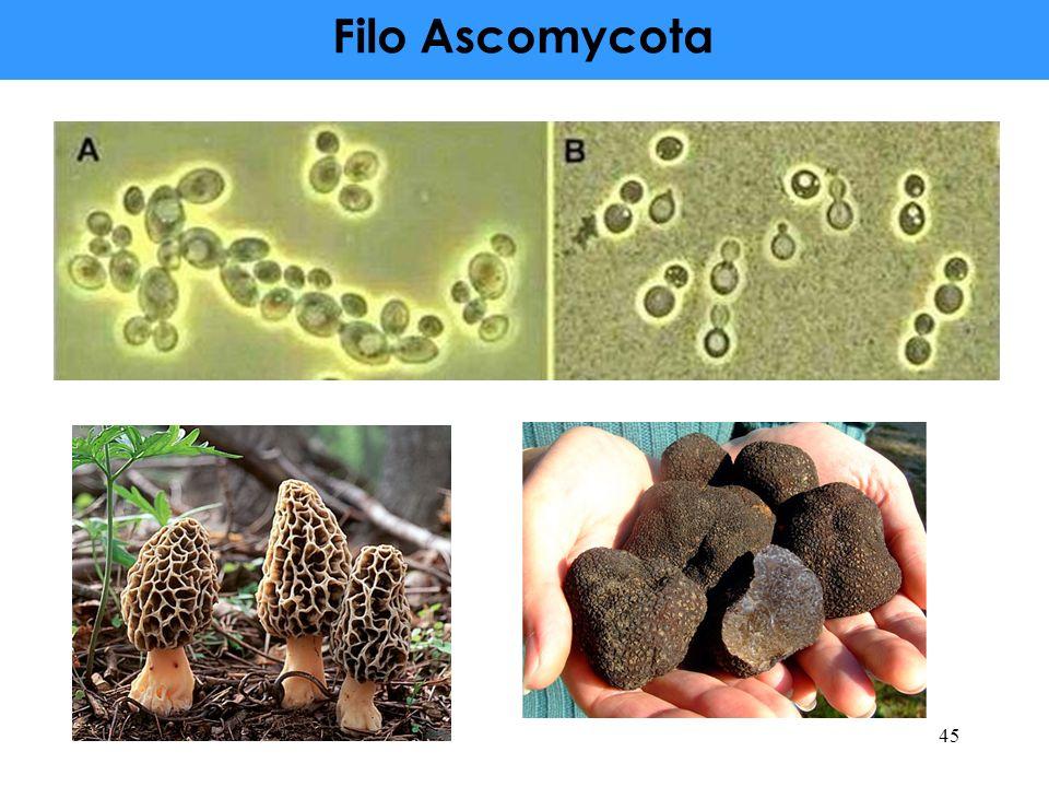 Filo Ascomycota 45