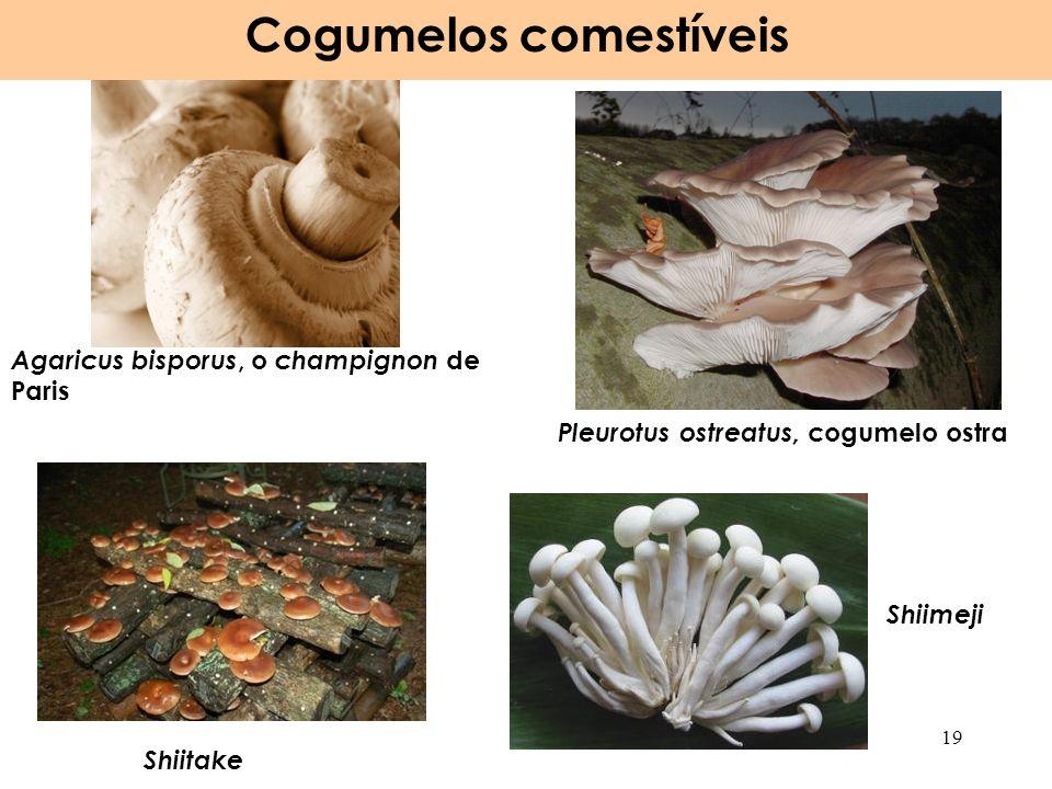 Agaricus bisporus, o champignon de Paris Cogumelos comestíveis 19 Shiitake Shiimeji Pleurotus ostreatus, cogumelo ostra