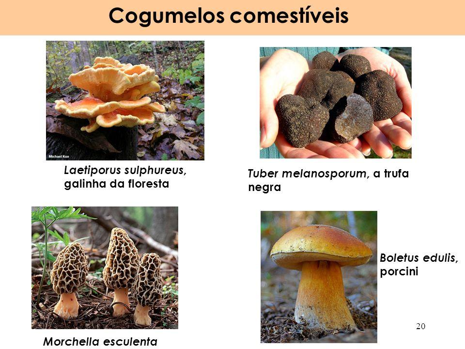 Laetiporus sulphureus, galinha da floresta Cogumelos comestíveis 20 Morchella esculenta Boletus edulis, porcini Tuber melanosporum, a trufa negra