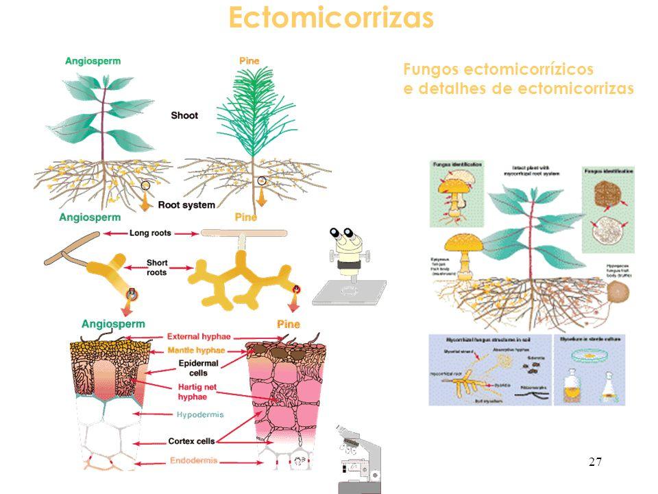 Ectomicorrizas Fungos ectomicorrízicos e detalhes de ectomicorrizas 27