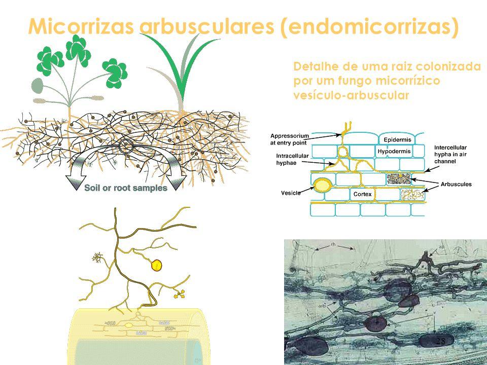 Micorrizas arbusculares (endomicorrizas) Detalhe de uma raiz colonizada por um fungo micorrízico vesículo-arbuscular 28