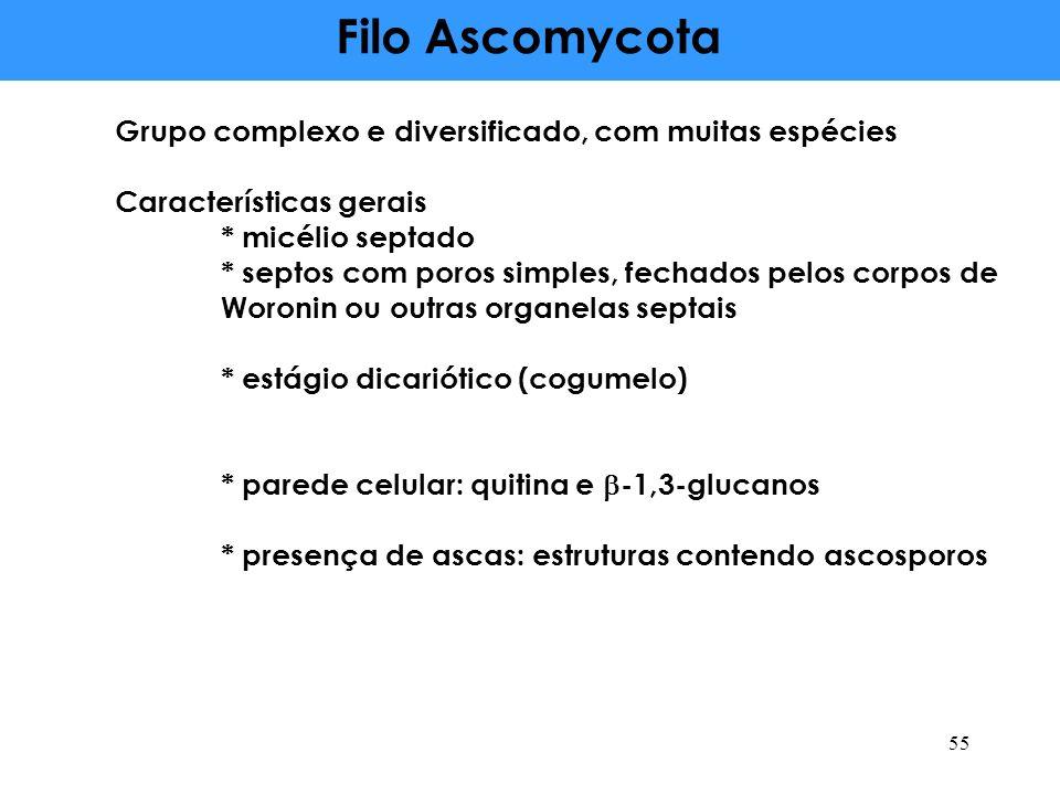 Filo Ascomycota Grupo complexo e diversificado, com muitas espécies Características gerais * micélio septado * septos com poros simples, fechados pelo