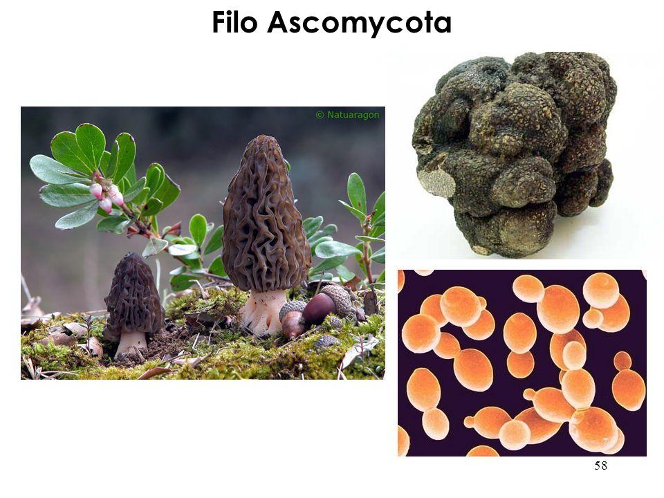 Filo Ascomycota 58