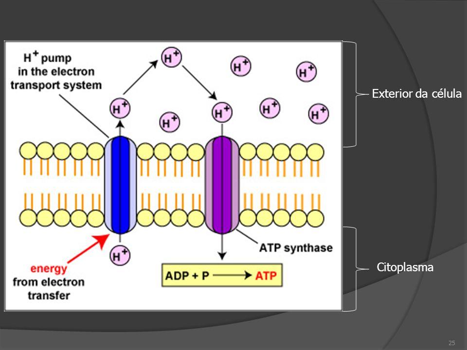 Exterior da célula Citoplasma 25