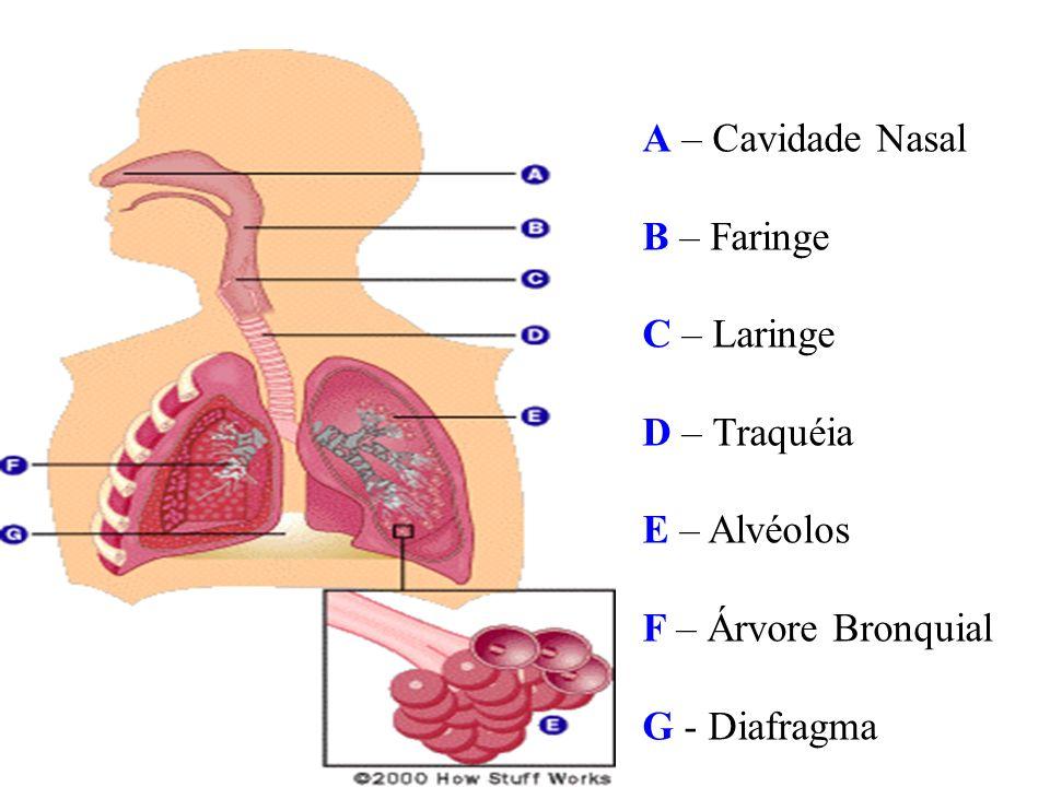A – Cavidade Nasal B – Faringe C – Laringe D – Traquéia E – Alvéolos F – Árvore Bronquial G - Diafragma