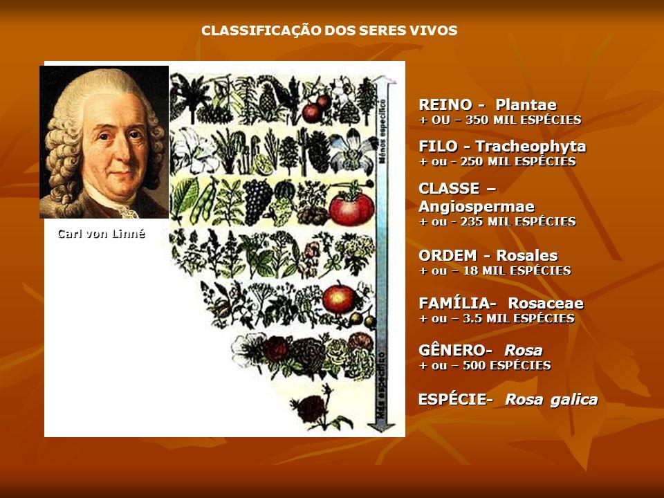 CLASSIFICAÇÃO DOS SERES VIVOS REINO - Plantae + OU – 350 MIL ESPÉCIES FILO - Tracheophyta + ou - 250 MIL ESPÉCIES CLASSE – Angiospermae + ou - 235 MIL ESPÉCIES ORDEM - Rosales + ou – 18 MIL ESPÉCIES FAMÍLIA- Rosaceae + ou – 3.5 MIL ESPÉCIES GÊNERO- Rosa + ou – 500 ESPÉCIES ESPÉCIE- Rosa galica Carl von Linné