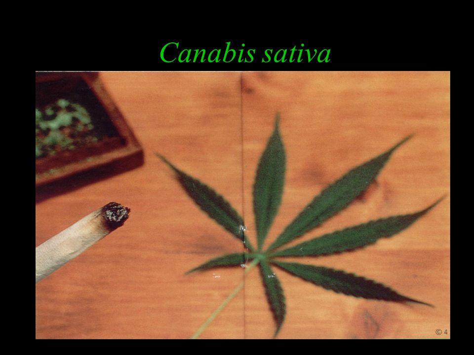 Drogas perturbadoras do SNC Maconha e Haxixe Ecstasy (êxtase) Alucinógenos Anticolinérgicos