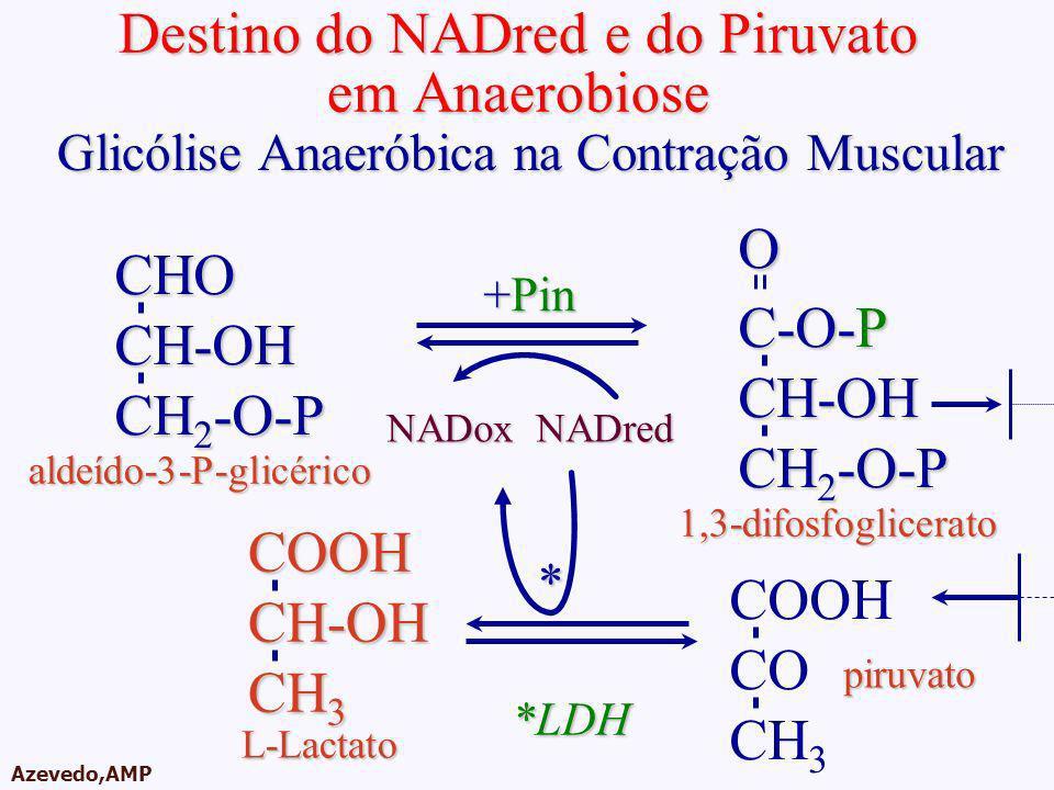 AMPA 2003 Azevedo,AMP Destino do NADred e do Piruvato em Anaerobiose CHOCH-OH CH 2 -O-P C-O-P CH-OH CH 2 -O-P O +Pin NADoxNADred aldeído-3-P-glicérico