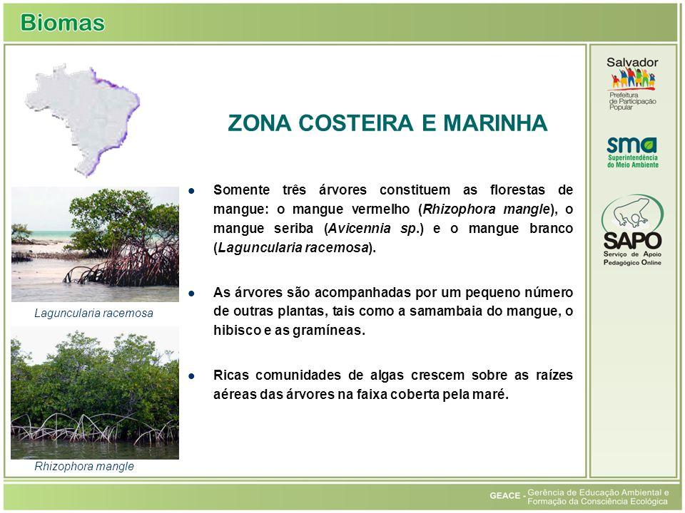 Somente três árvores constituem as florestas de mangue: o mangue vermelho (Rhizophora mangle), o mangue seriba (Avicennia sp.) e o mangue branco (Laguncularia racemosa).