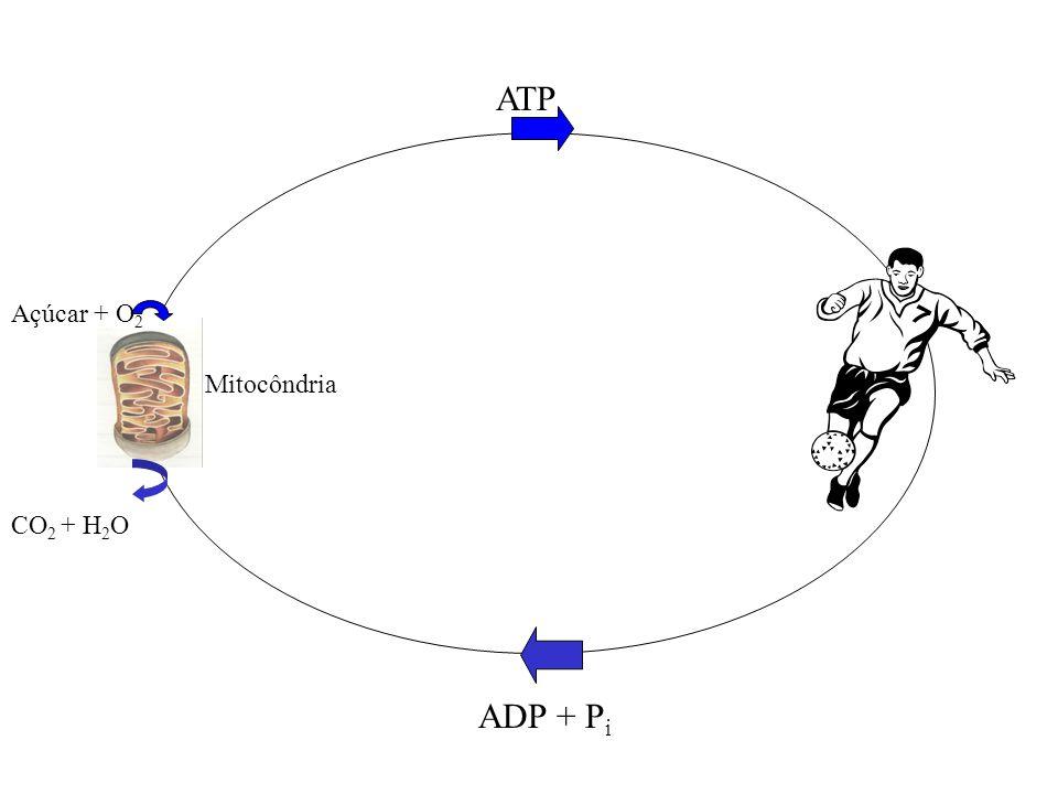 Mitocôndria ATP Açúcar + O 2 CO 2 + H 2 O ADP + P i