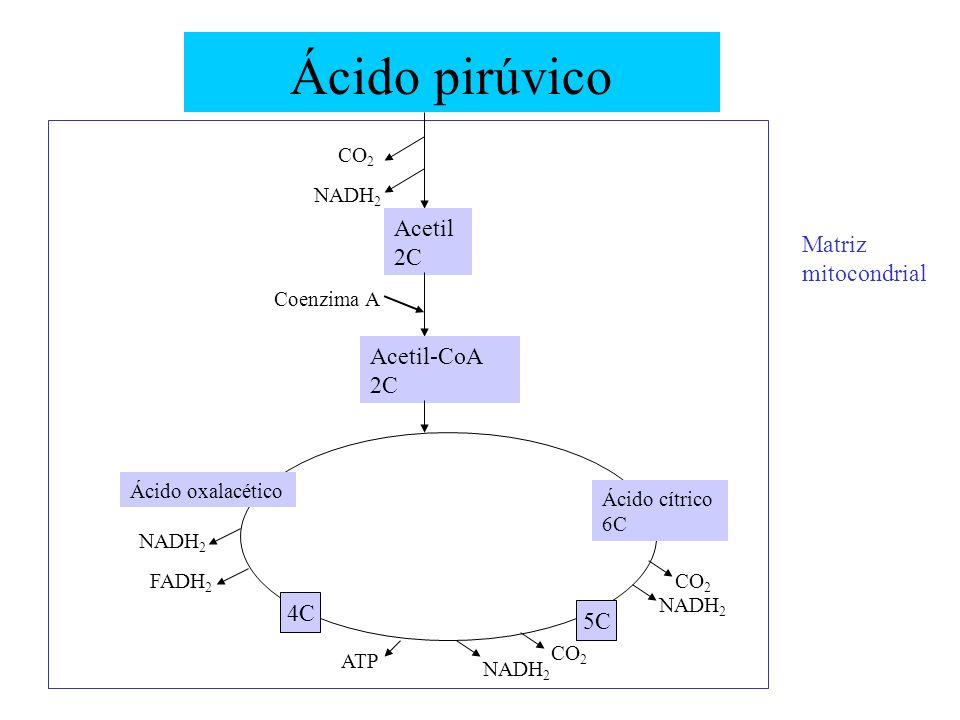 Ácido pirúvico CO 2 NADH 2 Acetil 2C Acetil-CoA 2C Coenzima A Matriz mitocondrial Ácido oxalacético Ácido cítrico 6C 4C 5C CO 2 NADH 2 CO 2 NADH 2 ATP