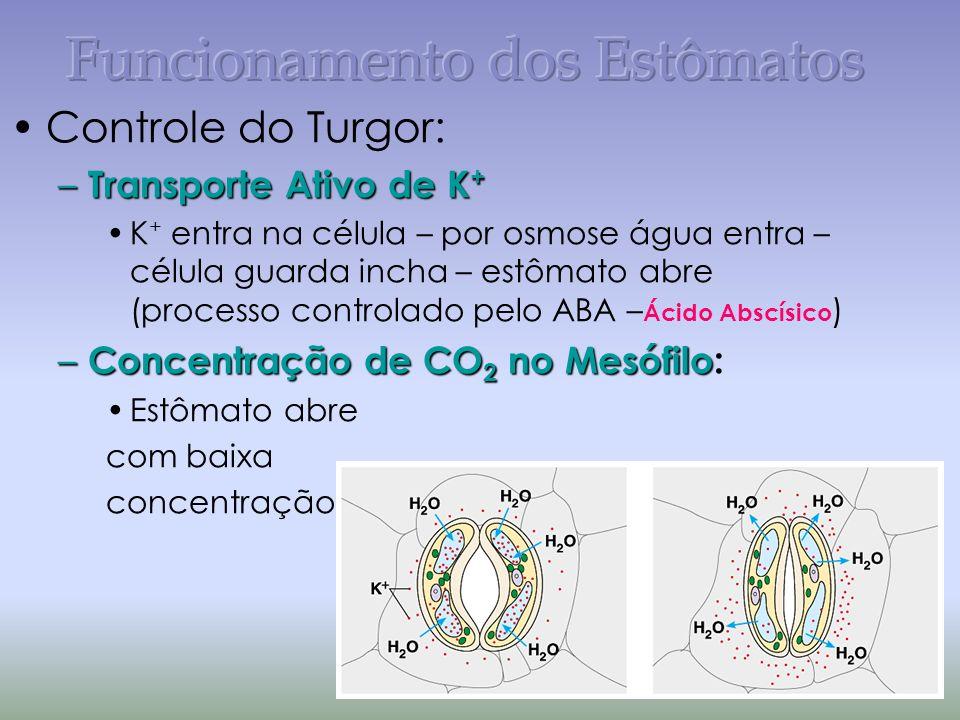 Controle do Turgor: – Transporte Ativo de K + K + entra na célula – por osmose água entra – célula guarda incha – estômato abre (processo controlado pelo ABA – Ácido Abscísico ) – Concentração de CO 2 no Mesófilo – Concentração de CO 2 no Mesófilo: Estômato abre com baixa concentração