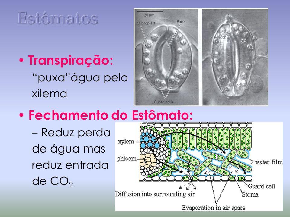 Fechamento do Estômato pelo turgor da célula.