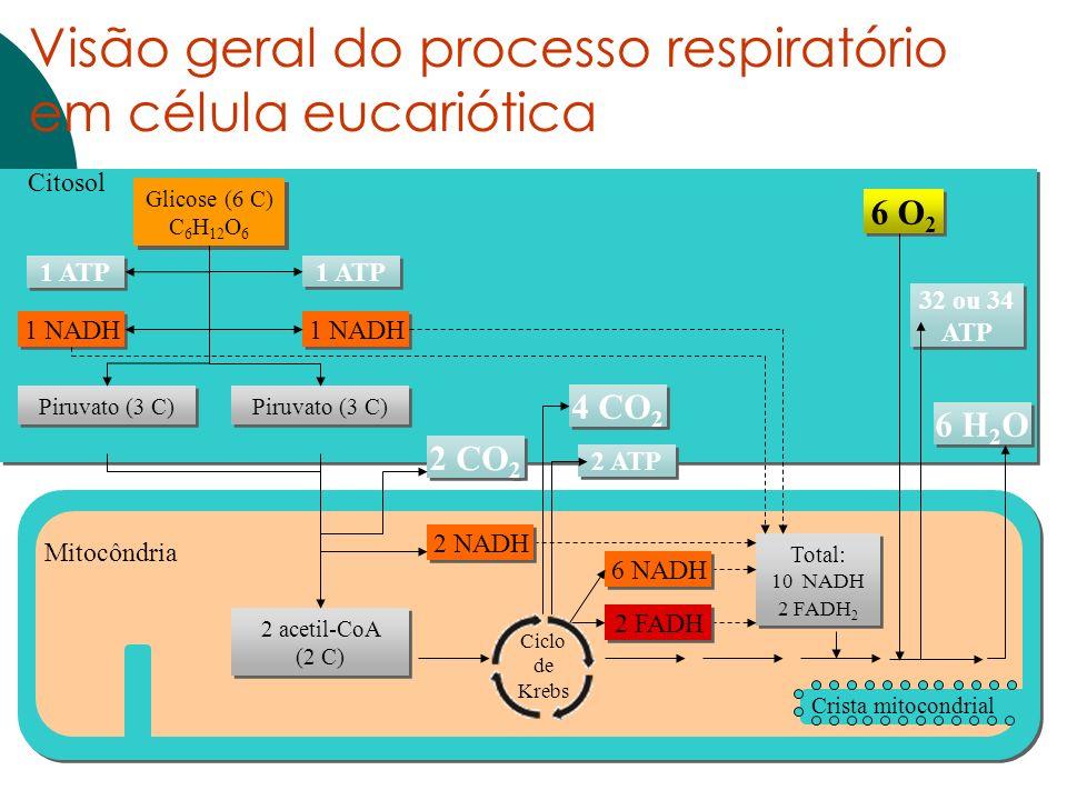 Citosol Crista mitocondrial Mitocôndria Glicose (6 C) C 6 H 12 O 6 Total: 10 NADH 2 FADH 2 1 ATP 1 NADH Piruvato (3 C) 6 O 2 6 H 2 O 32 ou 34 ATP 6 NA