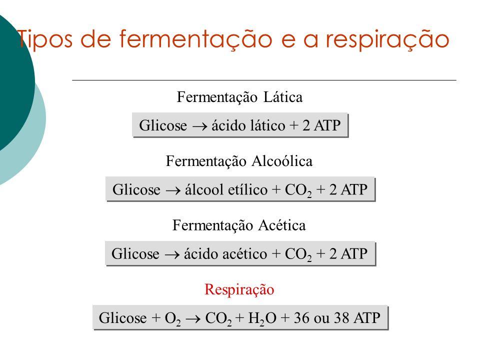 Tipos de fermentação e a respiração Glicose ácido lático + 2 ATP Fermentação Lática Glicose álcool etílico + CO 2 + 2 ATP Fermentação Alcoólica Glicos
