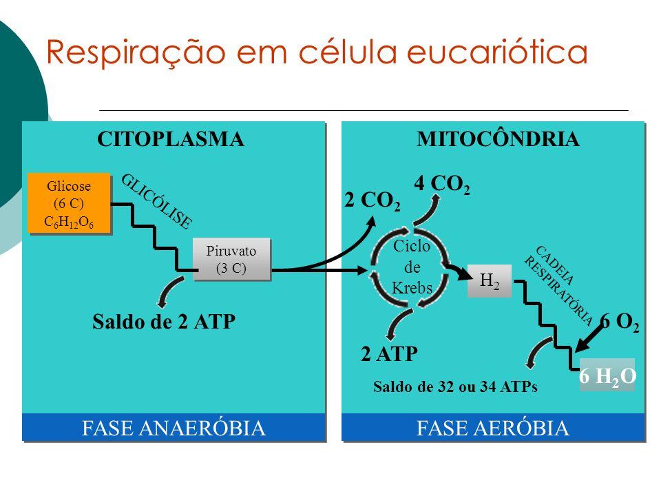 MITOCÔNDRIACITOPLASMA Glicose (6 C) C 6 H 12 O 6 Glicose (6 C) C 6 H 12 O 6 2 CO 2 Ciclo de Krebs 4 CO 2 2 ATP H2H2 FASE ANAERÓBIAFASE AERÓBIA 6 H 2 O