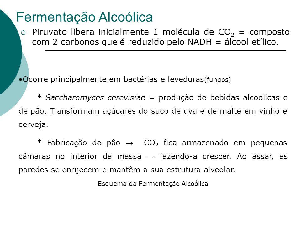 Fermentação Alcoólica Piruvato libera inicialmente 1 molécula de CO 2 = composto com 2 carbonos que é reduzido pelo NADH = álcool etílico. Ocorre prin