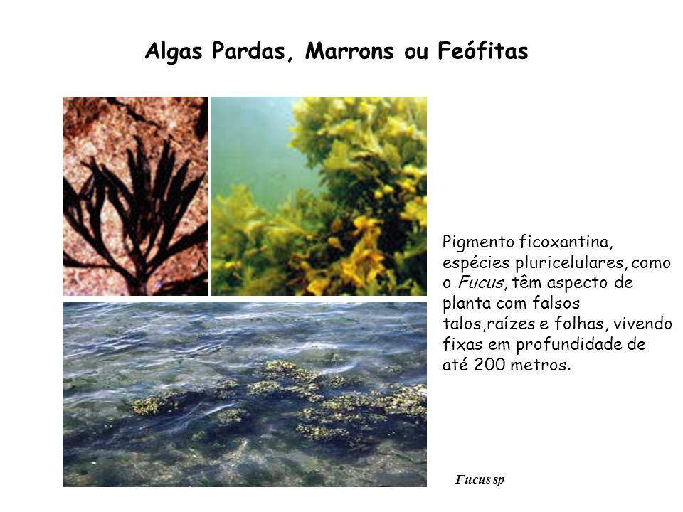 Pigmento ficoxantina, espécies pluricelulares, como o Fucus, têm aspecto de planta com falsos talos,raízes e folhas, vivendo fixas em profundidade de